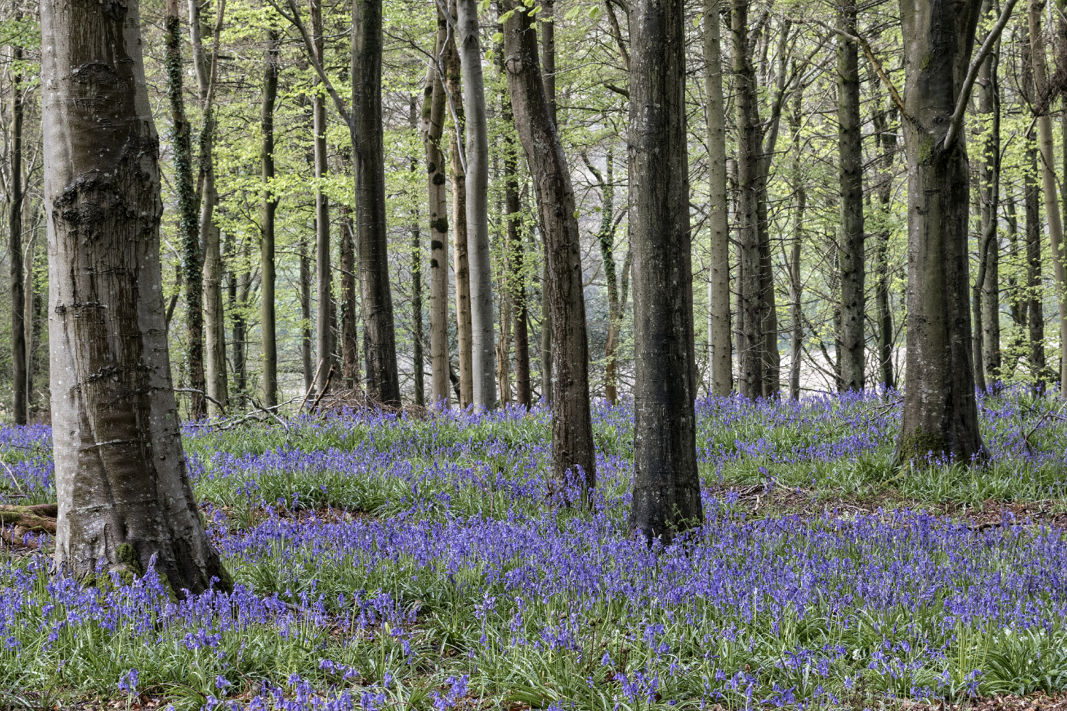 Delcombe Bluebells
