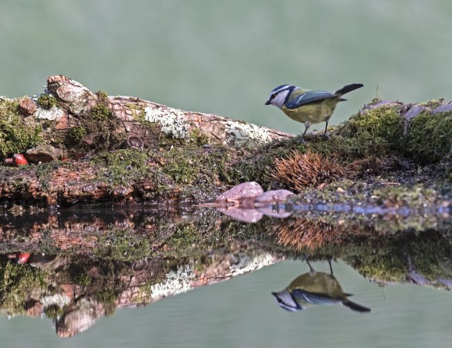 Blue Tit reflection