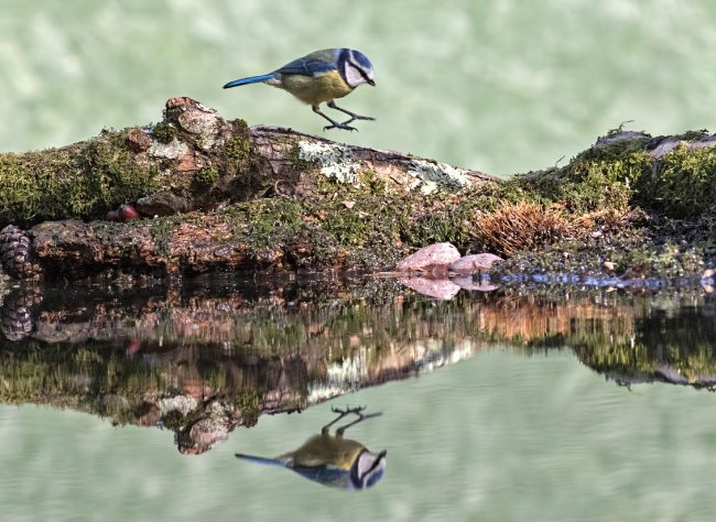 Blue Tit coming into land