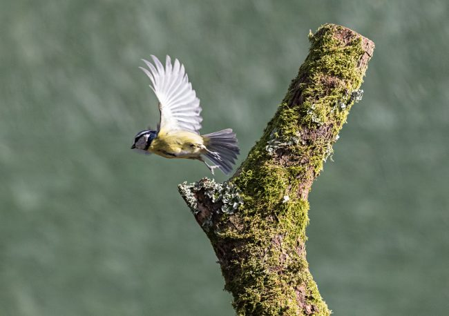 Blue Tit taking off
