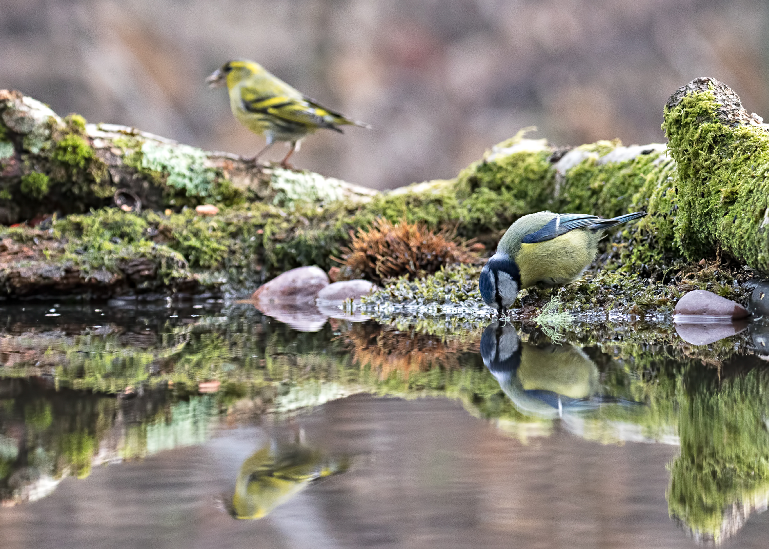 Blue Tit with Siskin behind