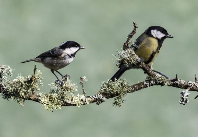 Coal Tit left Great Tit right
