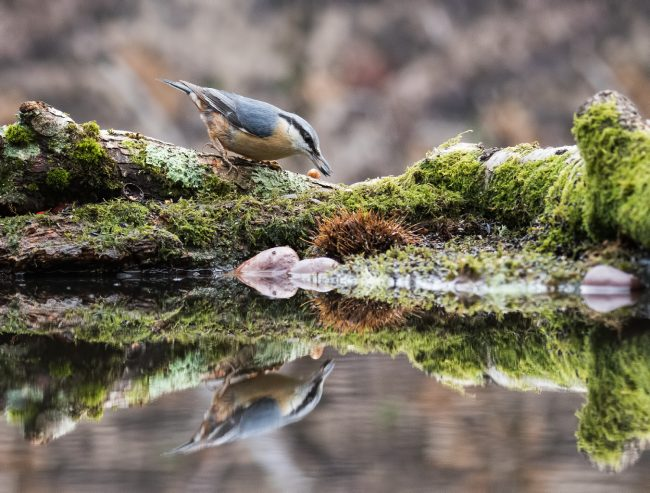 Nuthatch reflected
