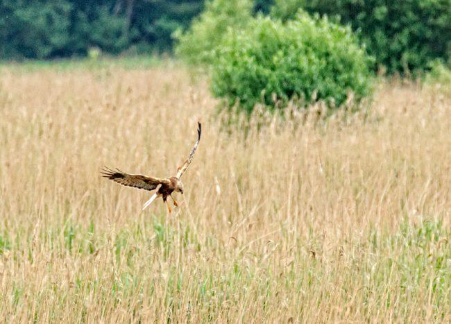 Male Marsh Harrier hunting