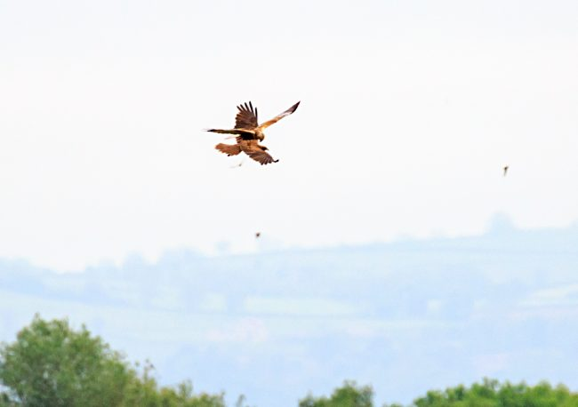 Male and female Marsh Harriers passing food.