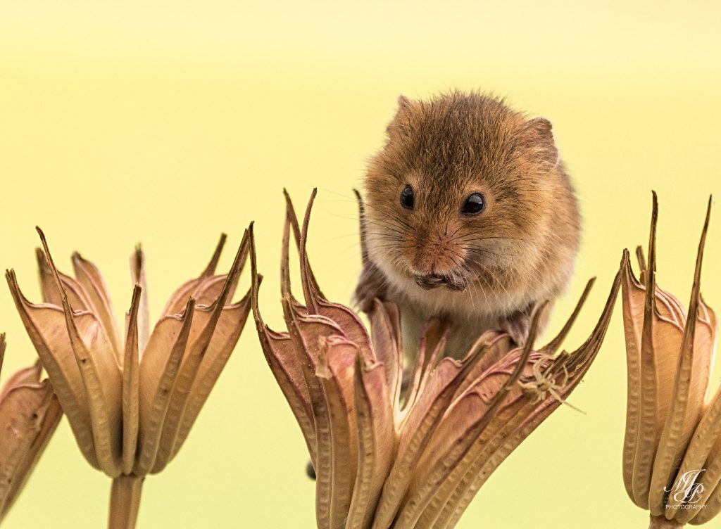 Harvest Mouse on Columbine seed heads