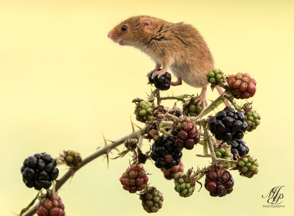 Harvest Mouse on Blackberries