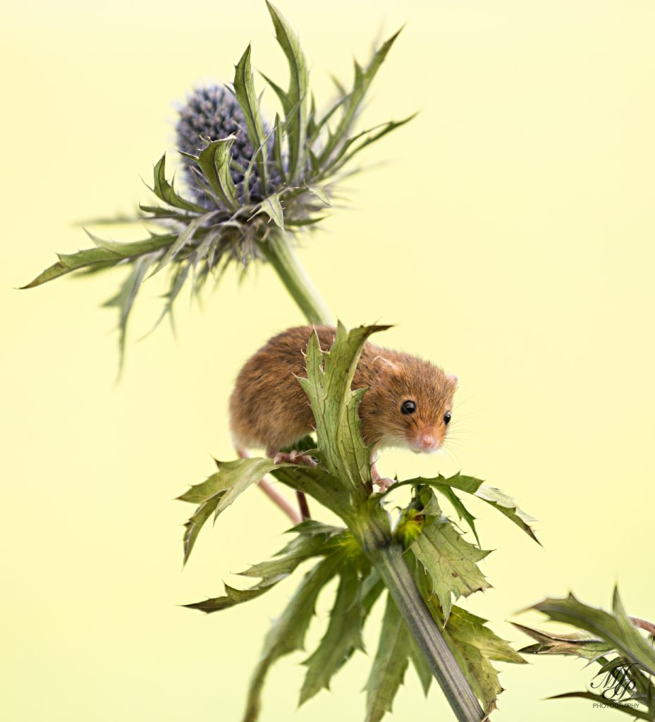 Harvest Mouse on Eryngium