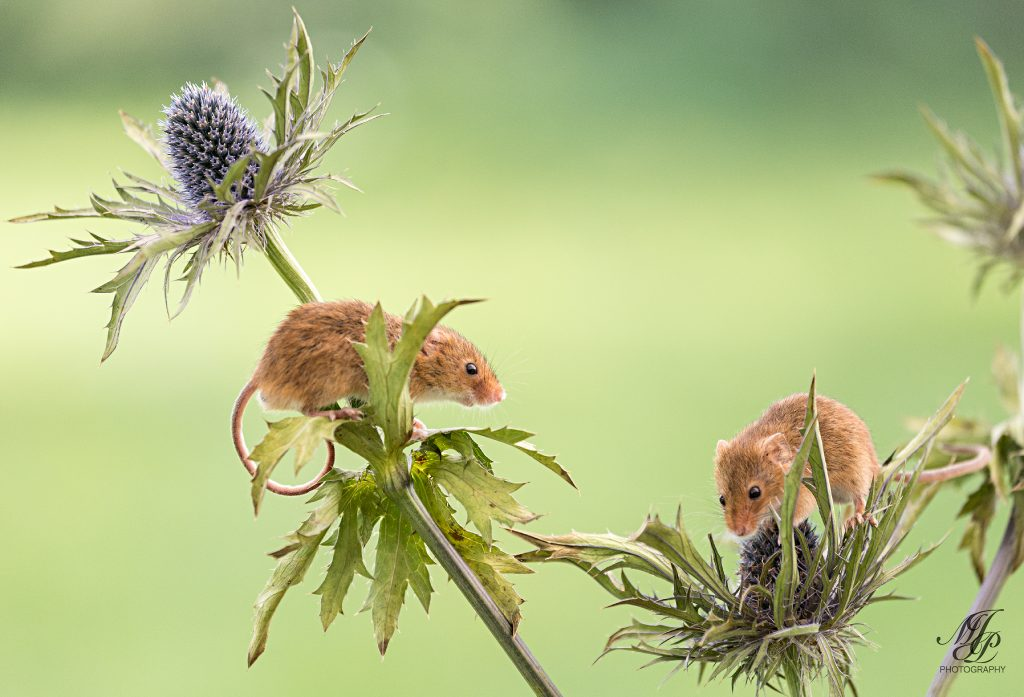 Harvest Mice on Eryngium