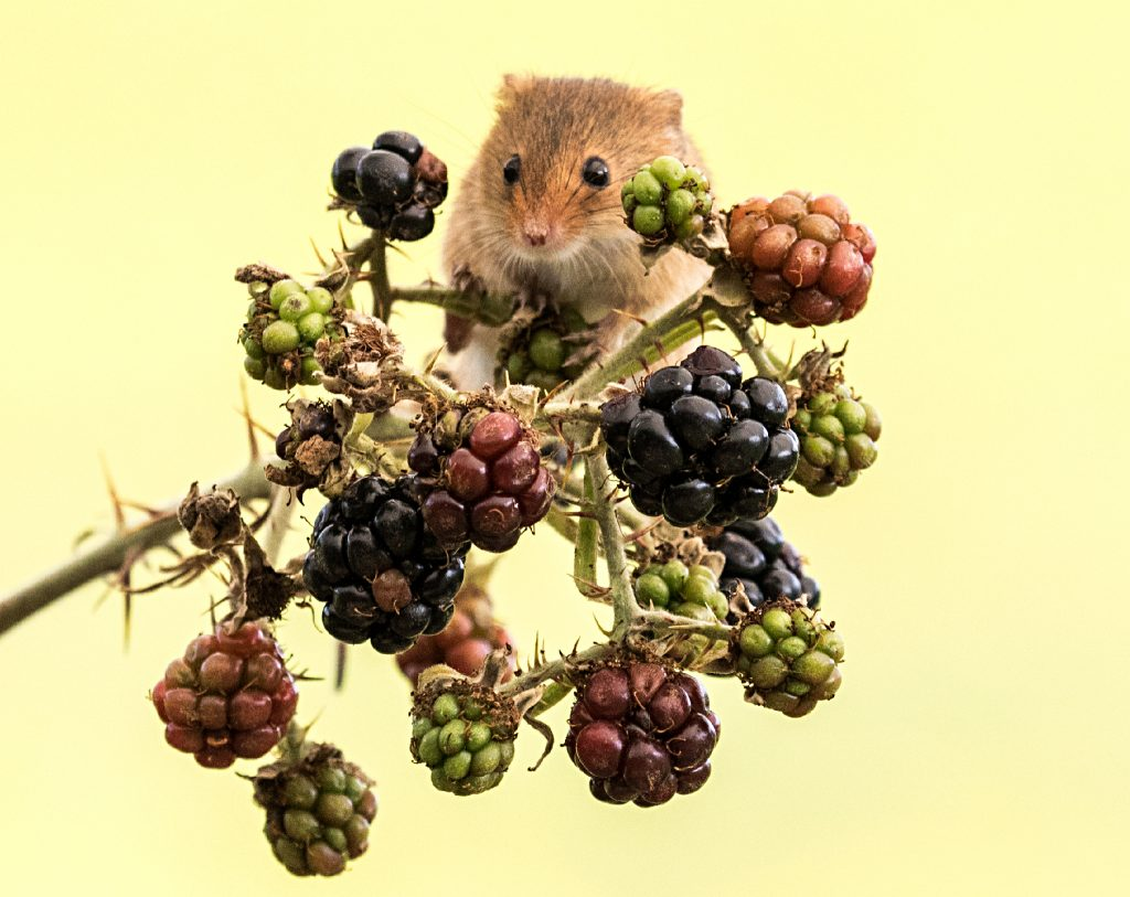 Harvest Mouse on Blackberry