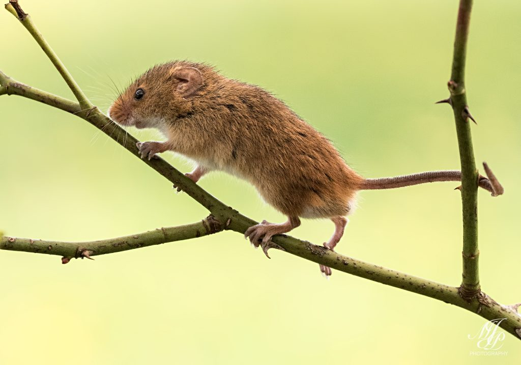 Harvest Mouse on Dog Rose stem