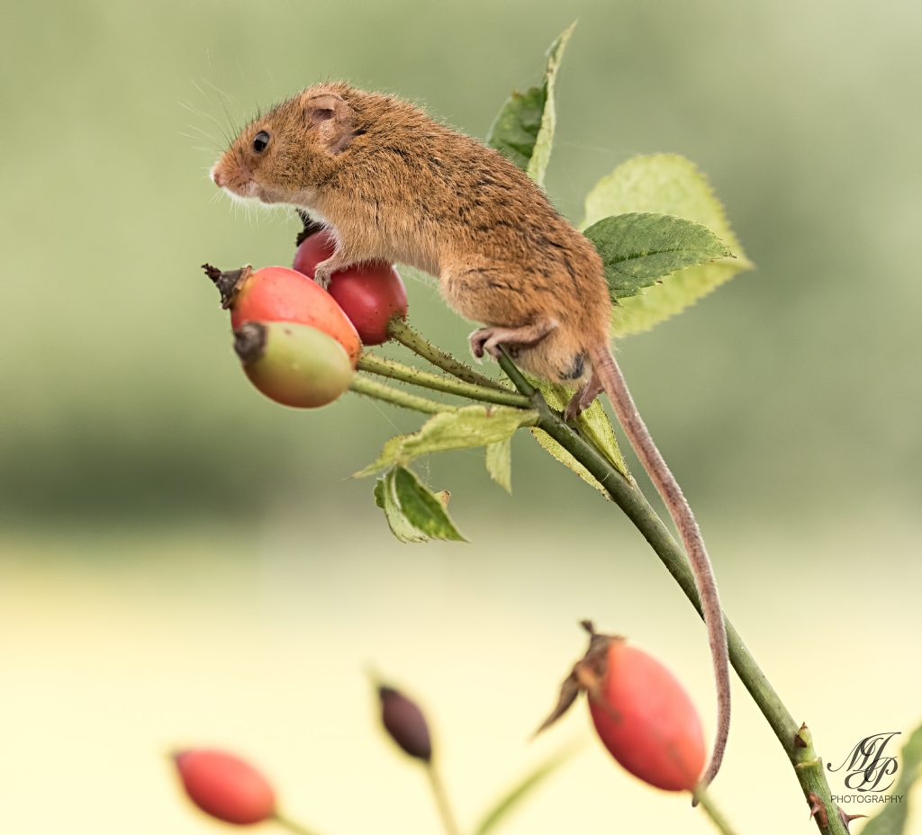 Harvest Mouse on Rosehips