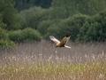 1_Marsh-Harrier5