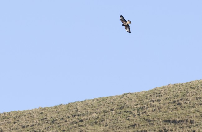 Buzzard using the thermals