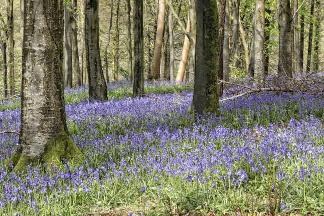 Delcombe Bluebells