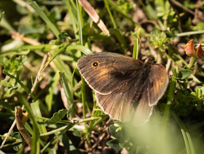 meadow-brown-male