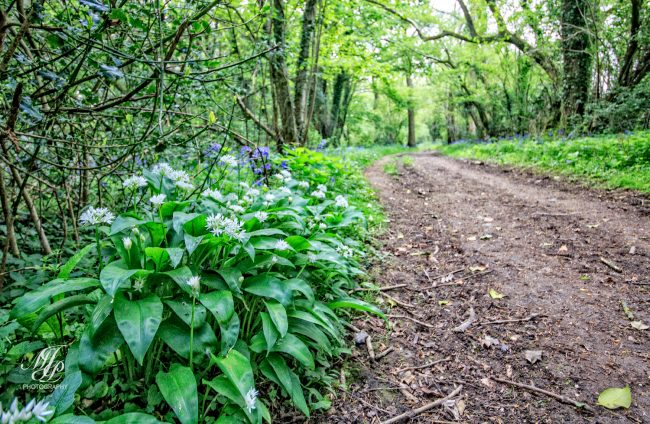 Wild Garlic on the path