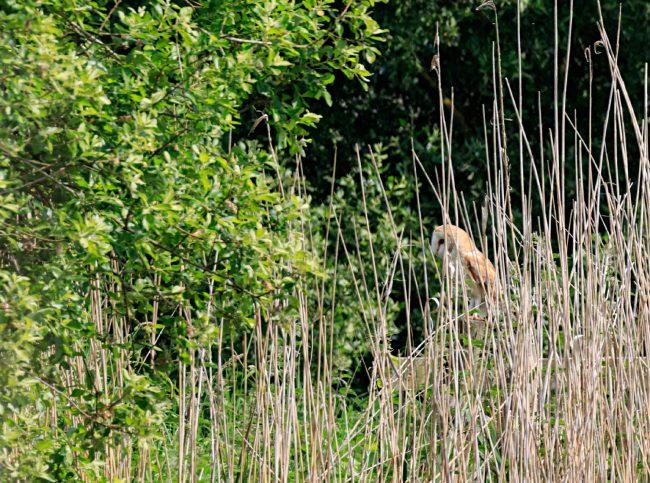 Barn Owl on fence post.