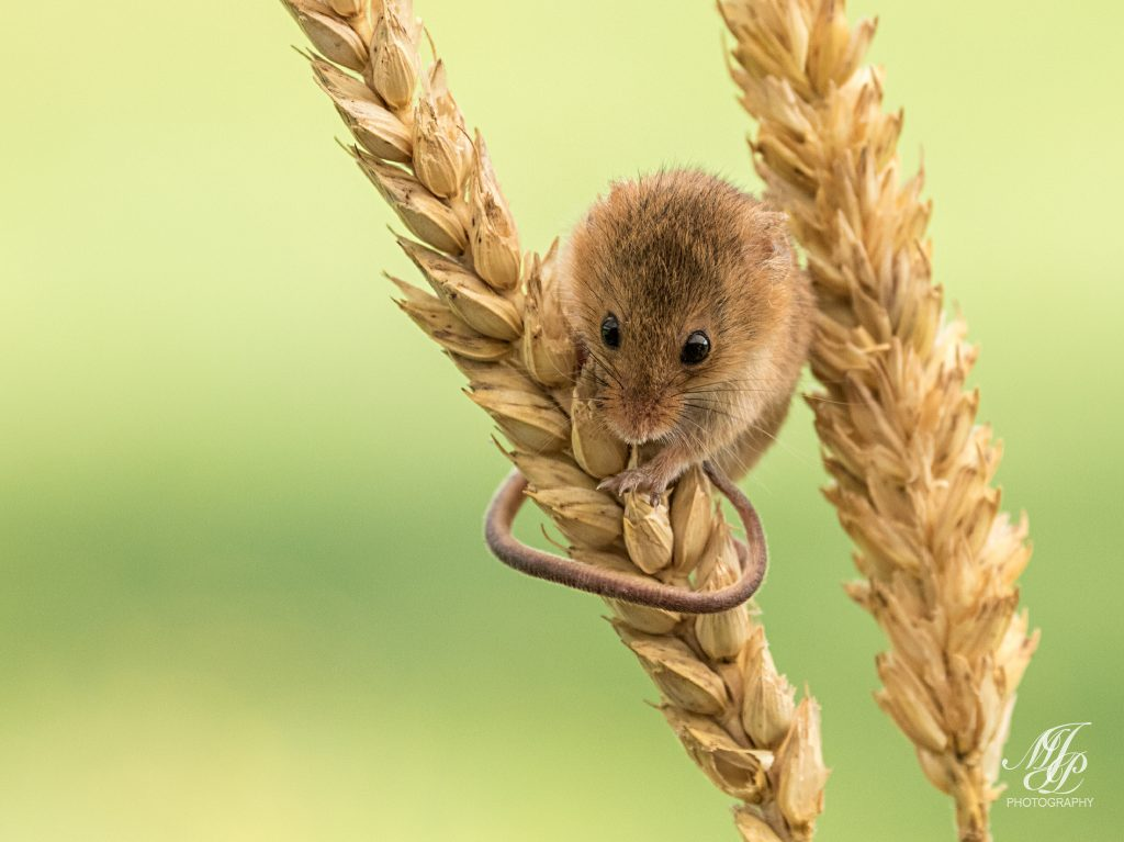 Harvest Mouse on Wheat