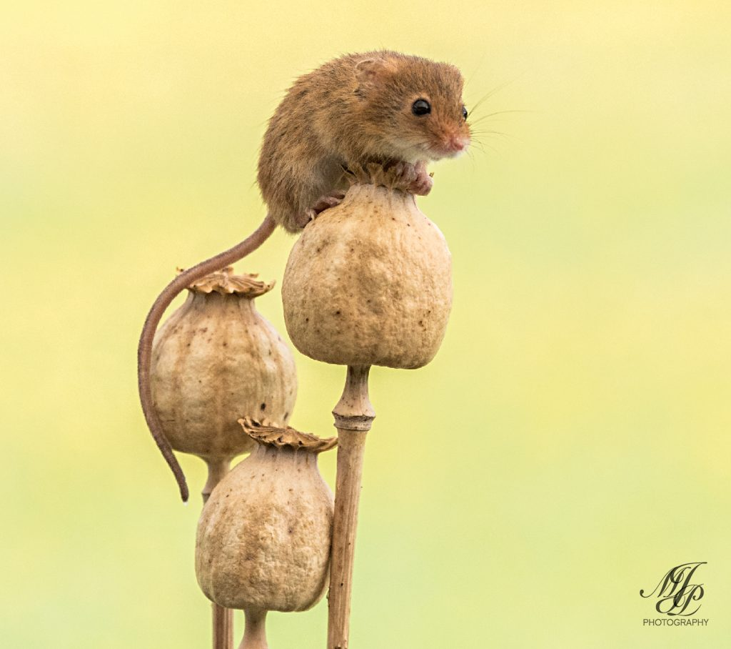 Harvest Mouse on dried Poppy seed heads