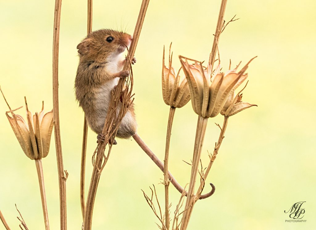 Harvest Mouse on dried Columbine seed heads