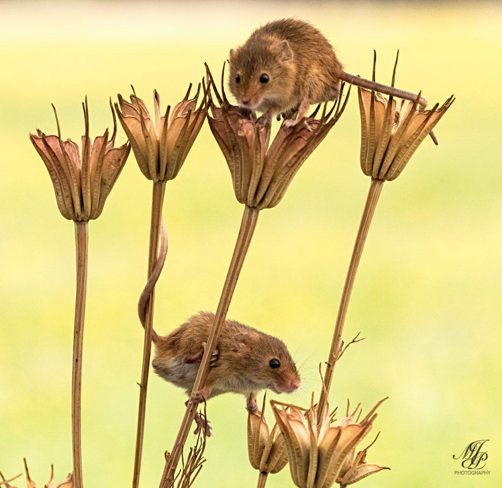 Harvest Mice on Columbine seed heads