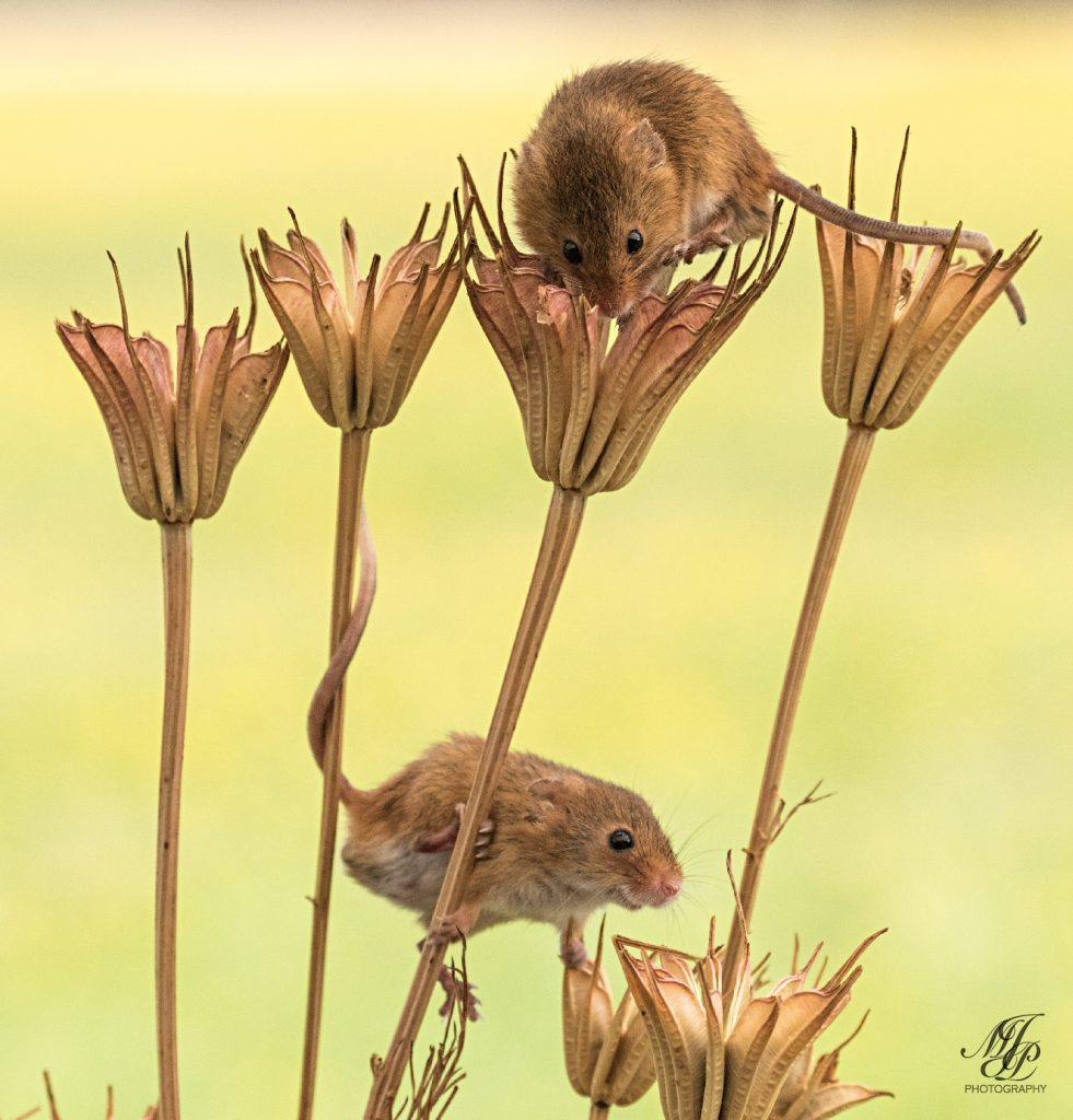 Harvest Mice on dried Columbine seed heads.