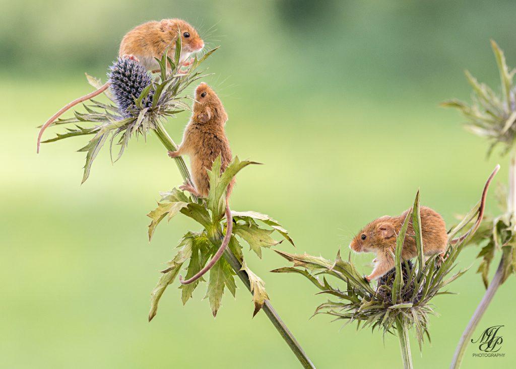 Harvest Mice on Eryngium