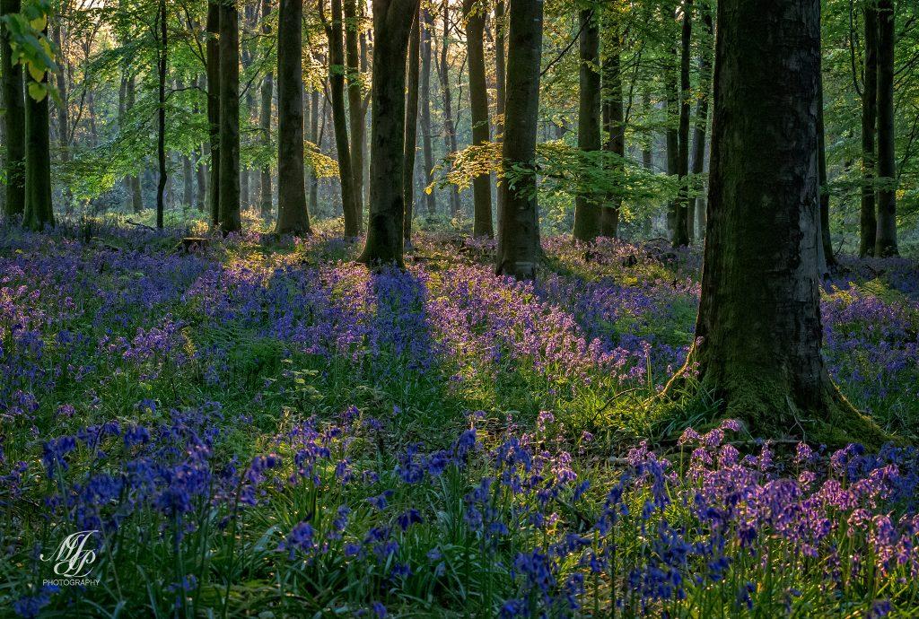 Bonsley wood early morning light