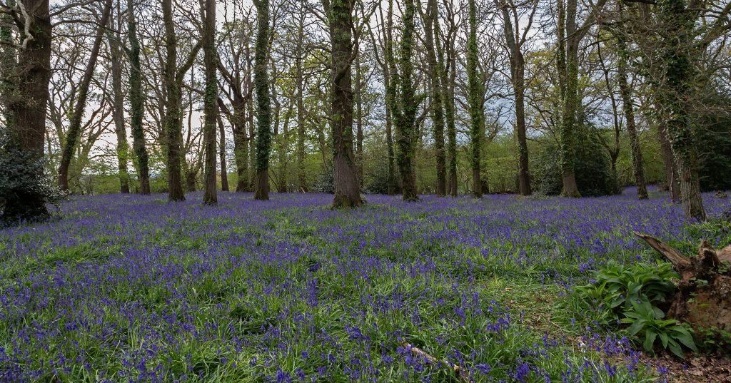 Bluebells, Pamphill